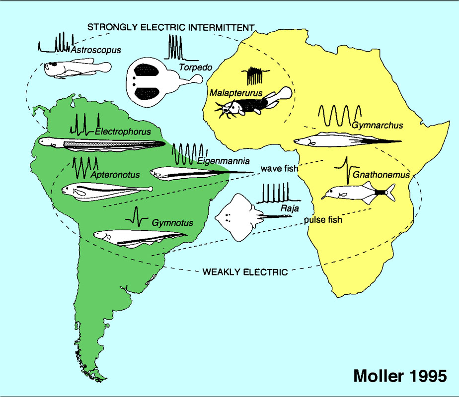 geographical distribution of electric fish